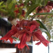 Aeschynanthus Holiday Bells